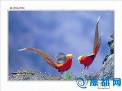 多彩锦鸡 展现和谐之美
