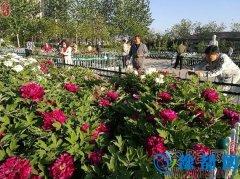 林州市人民公园牡丹花盛开吸引众多市民观赏