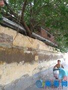 安运社区:树木被清除 受到群众称赞