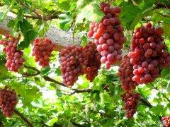淅川县金河镇葡萄采摘促农业旅游发展