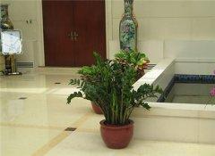 客厅摆放发财树能够旺财吗