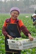 镇平:蔬菜地里话丰年贫困群众忙致富
