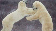 极地科学家遭北极熊包围被困两周 目前仍未脱险(图)