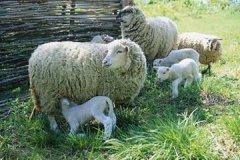 蒲县强令村民卖羊 因贱卖得承受经济损失