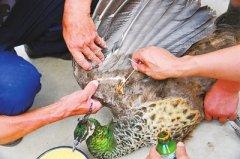 孔雀被几只猫追到了房顶 幸遇热心人解救