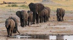 环保组织:过去10年非洲大象数量骤减11万只