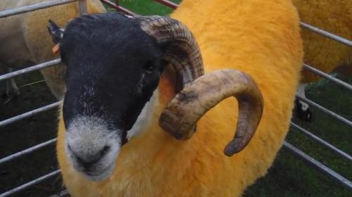 报道称,位于英国坎布里亚郡(Cumbria)的辛普森,为了让别人一眼就看出这是他的羊,所以把所有羊都喷上桔色染料,远远就能清楚看到一群桔色的羊。
