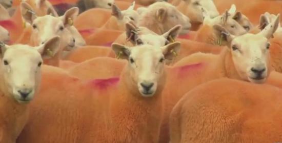辛普森家的羊被染成了橘色。视频截图。