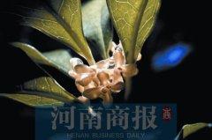 """郑州的桂花时隔一个月后再次飘香 天气是""""幕后推手"""""""