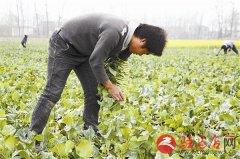 遂平县容大农业工人们正在采摘芥蓝