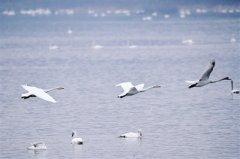 """咱河南也有""""天鹅湖""""!大批白天鹅到三门峡黄河湿地过冬"""