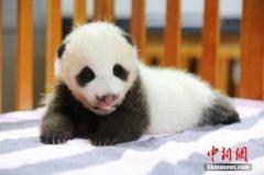 日本动物园给双胞胎大熊猫宝宝称重 萌化人心