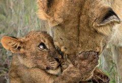 温馨!幼狮抱母亲面颊感谢养育之恩