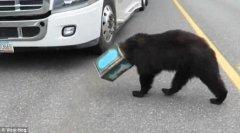 一只熊头戴咖啡罐 闯进高速公路