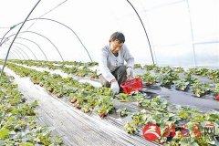 大棚草莓陆续进入销售旺季