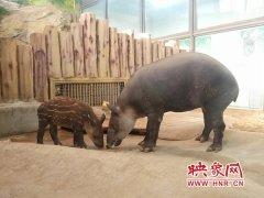 郑州市动物园中美貘首次繁殖成功 征名活动开始