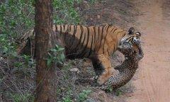 组图:母老虎丛林中捕食豹子惊险场面曝光