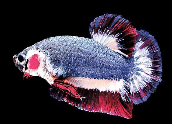 泰国斗鱼。美联社。
