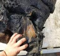 廊坊香河疑似打捞到150斤重太岁肉灵芝