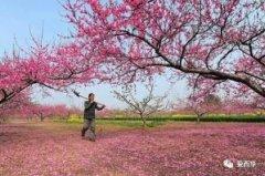 中国网:西华县万亩桃花盛开美了乡村富了农民