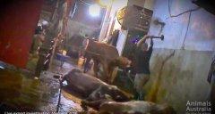 残暴血腥!越南屠宰场铁锤虐杀澳洲活牛画面
