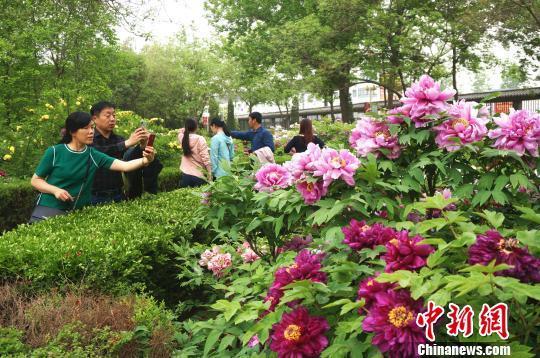 洛阳牡丹进入盛花期,国色天香的牡丹花成为四月洛阳最美的风景。 韩章云 摄