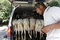 西安城中村村民不甘做包租公 租地养羊卖奶