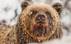 探秘残忍食人魔大熊的生活 原来这么温柔