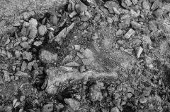 万余年前大象曾生活在信阳 息县发现保存较为完整的古菱齿象化石