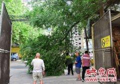 郑州一榆树断裂挡住小区大门 绿化部门及时抢险恢复通行