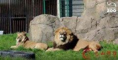 母亲狂殴狮子救儿 徒手从狮口中夺下儿子的头