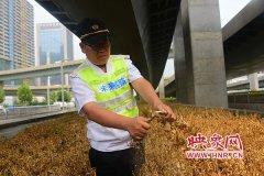 郑州一立交桥下海桐大面积死亡 疑因长期缺水所致