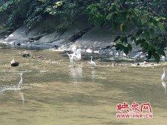 大群白鹭出现郑州闹市区 专家:金水河生态变好