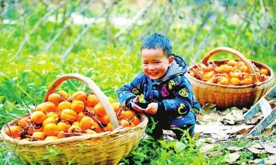 """卢氏红果满枝头 """"柿柿如意""""盼君来"""