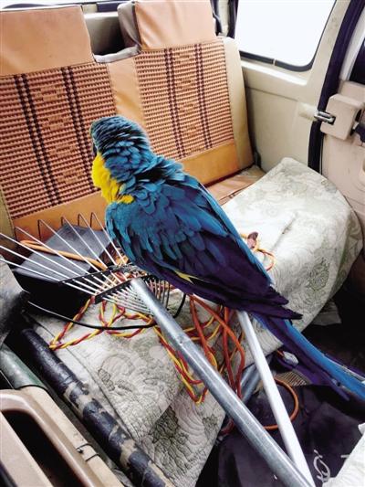 被绿化工发现的金刚鹦鹉