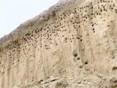崖沙燕在郑州工地筑巢 办事处设标牌保护