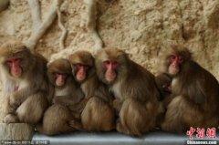日本群猴围炉烤火取暖 吃烤红薯惬意十足(图)