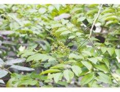 郑州植物园黄花梨首次开花米黄色小花带有清香味