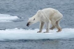 摄影师抓拍:没有冰也没有雪 北极熊一脸生无可恋