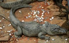 上海动物园鳄鱼池成许愿池 扫除小半桶硬币