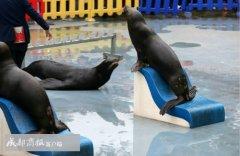 成都海昌极地海洋世界海狮疑带病表演 被要求整改