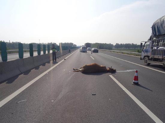 人畜上高速 引发事故究竟该由谁来负责?