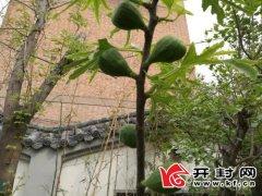 这棵无花果树4月结果  引得市民围观、网友称奇
