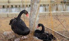 黑天鹅夫妇被偷走5颗蛋后绝食4天 警方介入调查