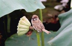 紫荆山公园荷塘现温馨一幕 莲蓬杆上麻雀喂食雏鸟