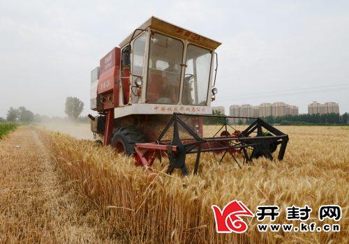 5 月 29 日,龙亭区北郊乡辛庄社区的麦田里机声隆隆,大型收割机在收获小麦。看着小麦颗粒归仓,农民心里特别高兴。 全媒体记者 李克君 摄