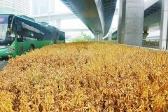 """郑州一绿化带中有大片的景观植物枯成""""干柴"""" 或因浇水不及时"""