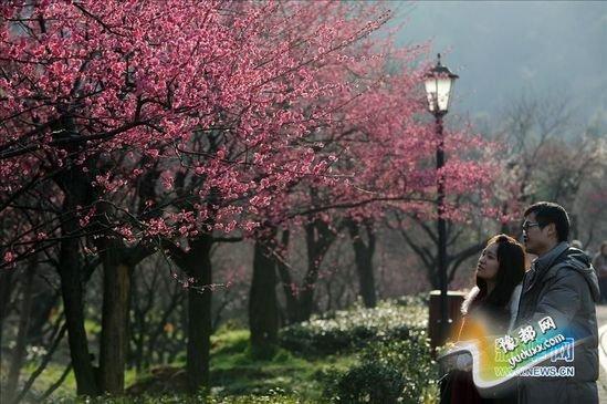 """初春时节,杭州市余杭区超山风景区的梅花绽放、香气袭人,呈现出一幅""""十里梅花香雪海""""的壮美画卷,吸引了不少游客前来踏青赏梅。"""